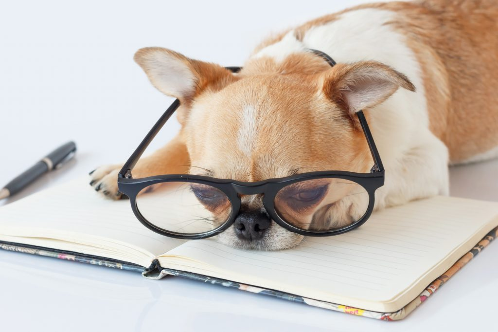 Chihuahua Officer dog in eyeglasses with a note pad and pen on white background.